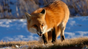 fox_walking_grin_snow_fluffy_64963_3840x2160